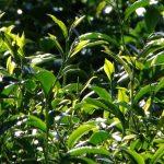 華崗茶區採茶製茶