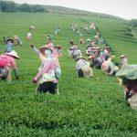 2017春茶採收記錄